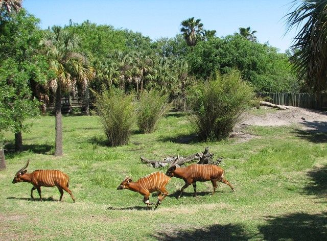 Kilimanjaro Safaris Compared To Other Zoos 39 African